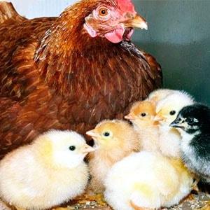 цыплята под курицей наседкой