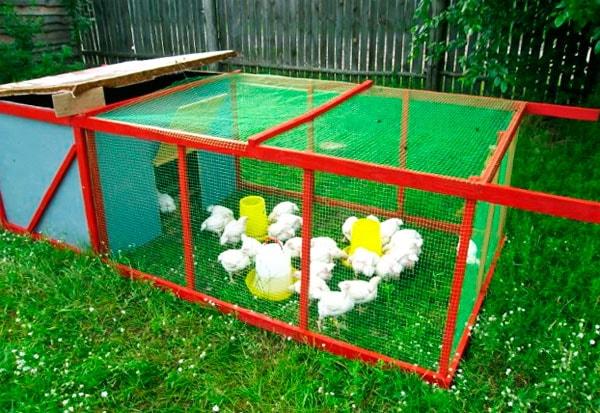 цыплята выращивание