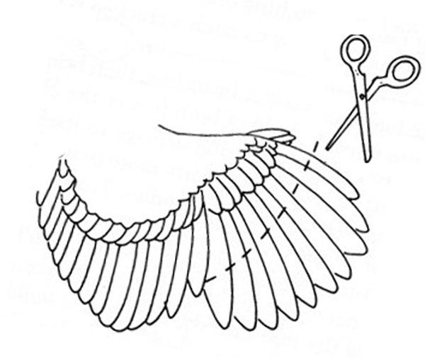 Как подрезать крылья курам схема