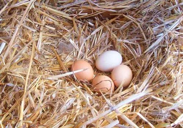 когда куры несут яйца