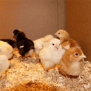 как отличить цыплят петушков от курочек