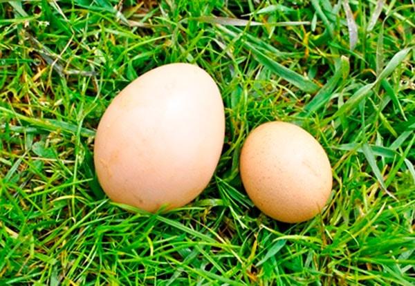 мелкие яйца у кур