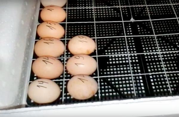 загрузка яиц в инкубатор несушка