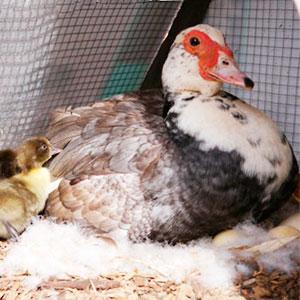 мускусная утка сколько сидит на яйцах
