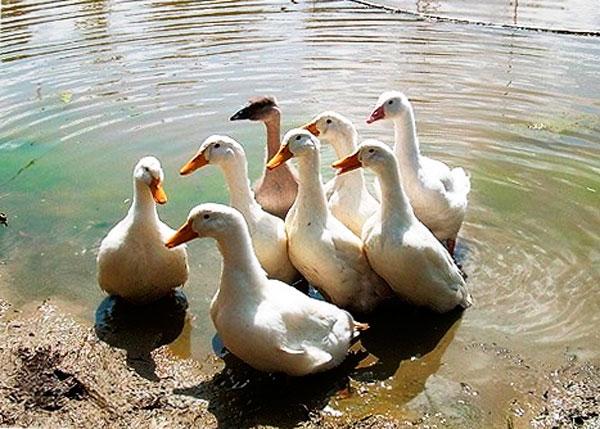 пекинские утки на пруду
