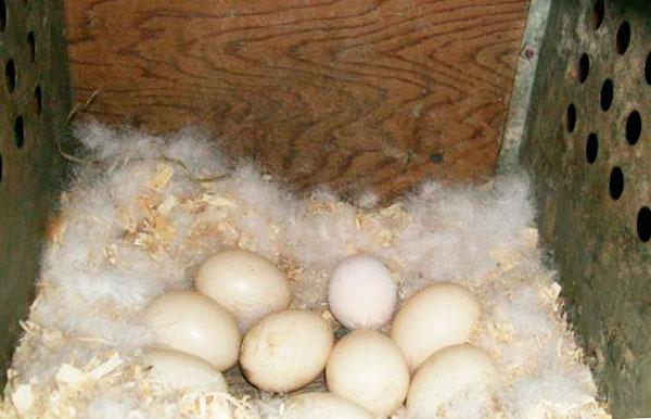 сколько дней индоутка высиживает яйца