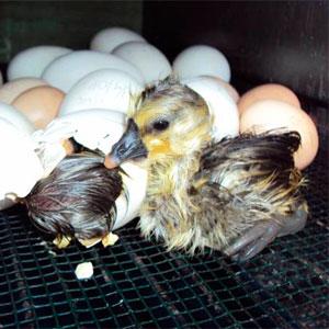 срок инкубации гусиных яиц