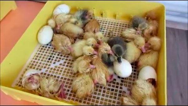 температура инкубации гусиных яиц