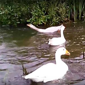 пруд для гусей своими руками