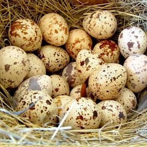 Сколько яиц несет перепёлка